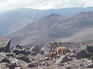 Llamas along the slopes of the Chimborazo Volcano.