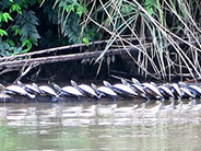 Turtles sunning on the Napo River in the Amazon basin.